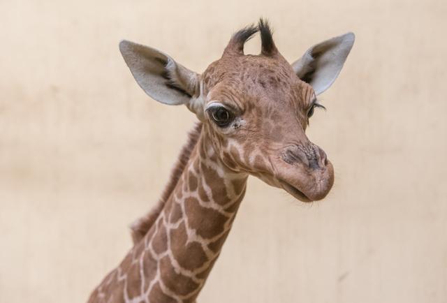 Recés zsiráfbébi született a Debreceni Állatkertben