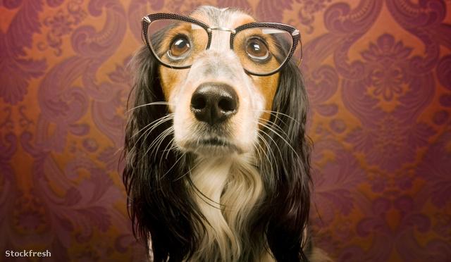 stockfresh 776240 dog-with-glasses sizeM