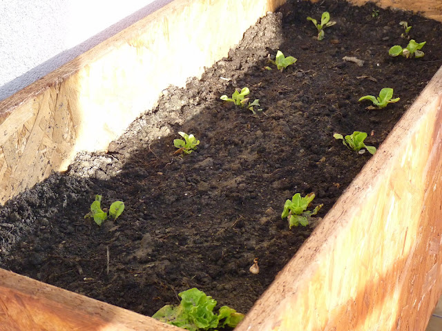 A gerillák kész salátapalántával, helyzeti előnnyel indulnak
