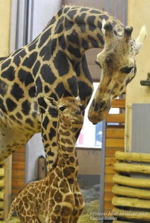 Ő Seraf, a legfiatalabb zsiráfborjú, február 19-én született