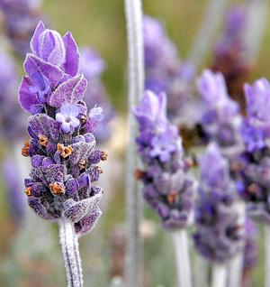 800px-Single lavendar flower02