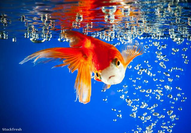stockfresh 1403972 goldfish sizeM