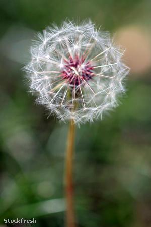 stockfresh 1067809 dandelion-seed-head sizeM