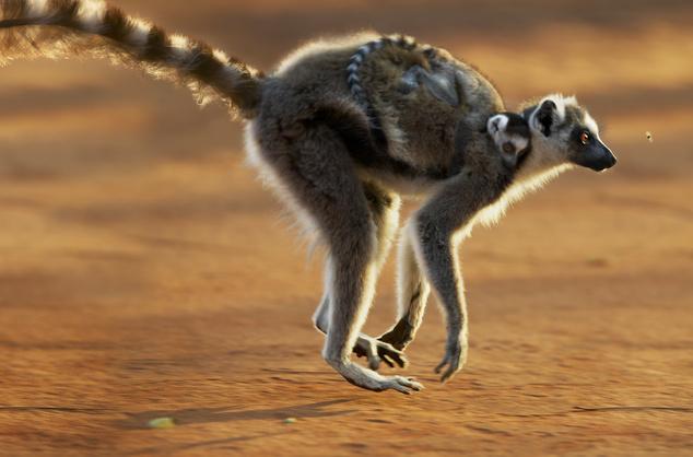 Makik Madagaszkáron