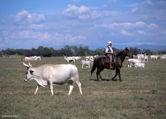 Buttero hajtja a helyi marhákat