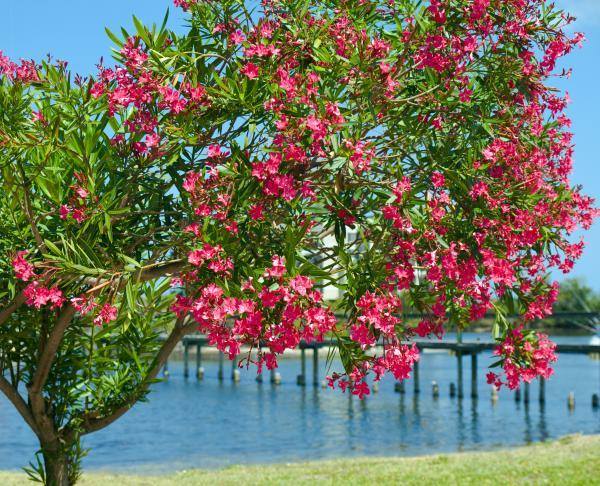 oleander-on-melbourne-harbor-in-florida-allan-hughes