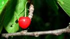 Cseresznye nélkül nincs élet