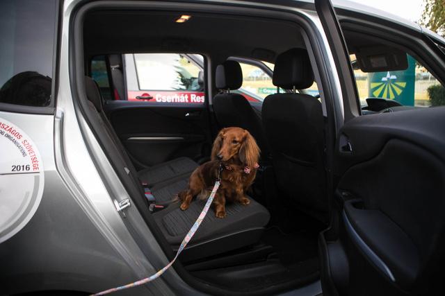 Málna kutyus a biztonságos utazással ismerkedik. Válaszatnia kell bizonsági öv és box között.