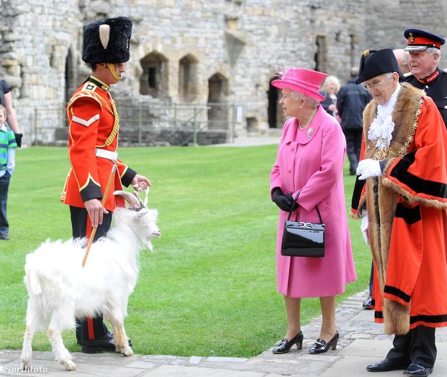 II. Erzsébet brit királynő két napos walesi kirándulása során a caernarfoni kastélyban meglátogatott egy William Windsor nevű kecskét.
