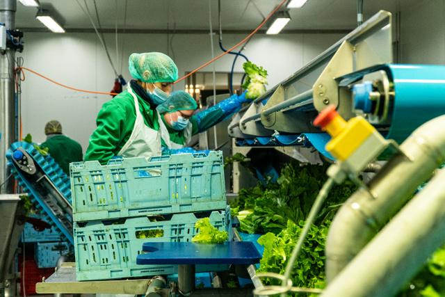 """A dolgozóknak a gyártás során végig """"résen kell lenniük"""". Ki kell szúrni, ha valahol hibás a saláta, mert a késztermékbe csak kiváló minőségű daraboknak jut hely. A zacskóba nem kerülő részek szarvasmarha-takarmányként hasznosulnak."""