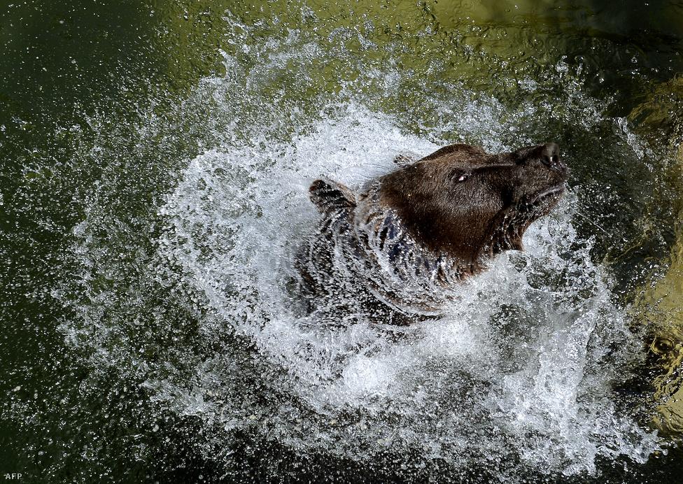 A római állatkert barnamedvéje igyekszik hűteni magát augusztus 22-én. Európa szerte dőltek meg melegrekordok, az olasz fővárosban 40 fokot is mértek augusztusban.