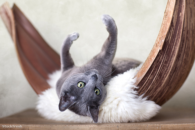 stockfresh 1540805 russian-blue-cat sizeM