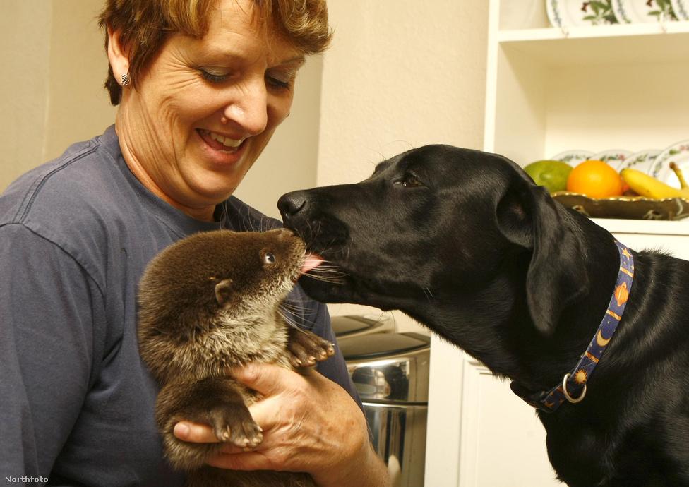 Különös kapcsolat állatok között: a család labradorja szoktatja a környezethez az árván talált három hónapos vidrakölyköt.