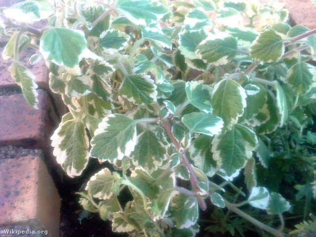 Plectranthus coleoides