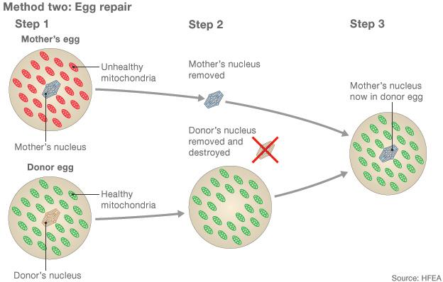 1. Az anyai  mitokondriális DNS hibás (pirossal jelölt). A donorsejtben viszont egészséges. 2. Az anya nukleális DNS-ét megtartják, a donorsejtét viszont elpusztítják. 3. Az anyai nukleáris DNS-ét beültetik a donorsejtbe.