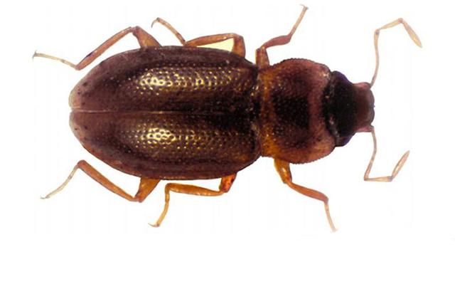 dnews-files-2013-09-deely-bopper-beetle-found-in-metropolis-1309