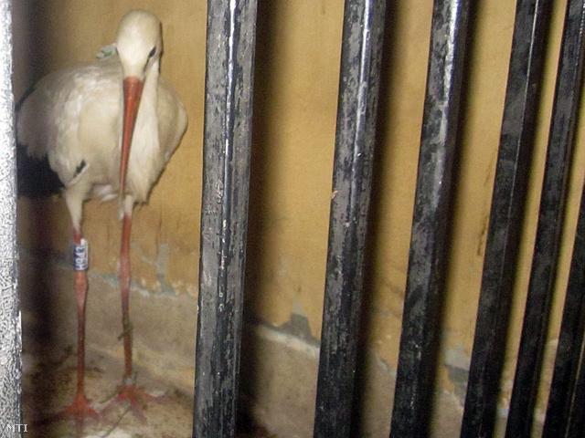 Rendőrségi fogdában egy kémkedéssel gyanúsított gólya a Kairótól mintegy 450 kilométerre délkeletre fekvő Kena kormányzóságban 2013. augusztus 31-én.