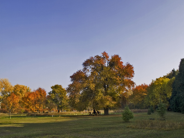 Egy mesebeli vén vackorfa, avagy a gödöllői magányos óriás