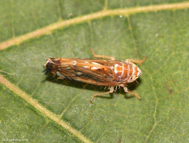 Amerikai szőlőkabóca (Scaphoideus titanus)