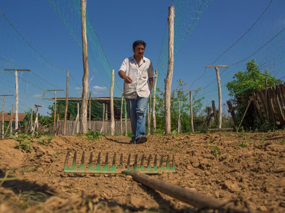"""Az uborkaföldek túlnyomó többsége a házakhoz tartozó kertekben található. A kisebbekben 300-600, a                          nagyobbakban akár 1500 folyóméteren is érlelnek terményt. Akik már előző évben is gazdálkodtak, kapálással,                         gereblyézéssel frissítik fel """"bakhátjaikat"""". A már felállított karók között futó öntözőcsöveket fekete fóliával kell                         lefedni, hogy a csepegtető öntözéssel kijuttatott víz ne illanjon el és a palánták is melegben maradjanak. Később                          ezeket kilyuggatják és az így keletkező helyekre telepítik a palántákat, amik uborkahálóra kúsznak."""