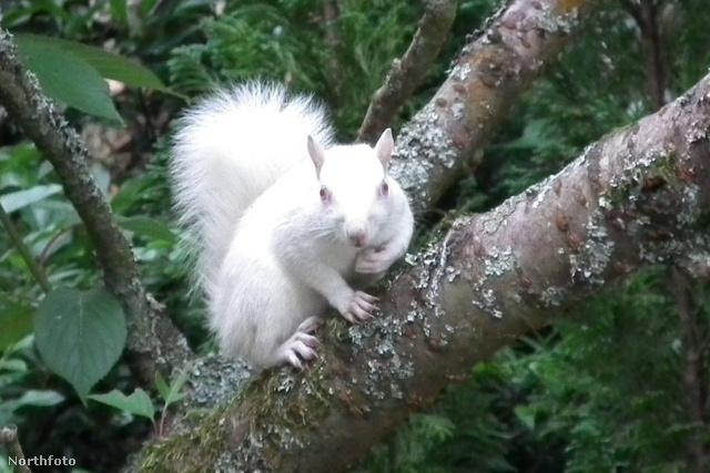 tk3s masons albino squirrel 01