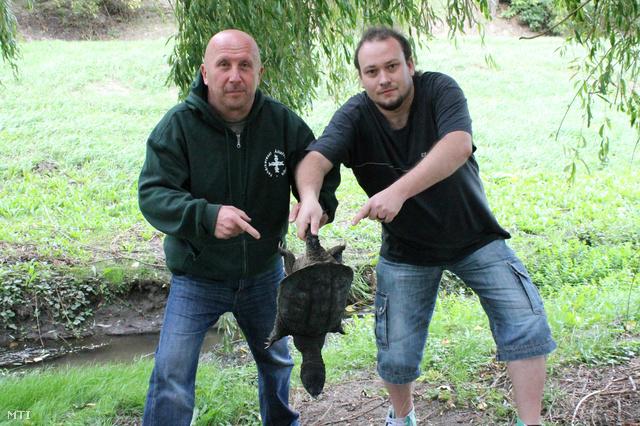 Szilágyi István, a Fehérkereszt Állatvédő Liga kurátora és Both Zoltán veszélyesállat-befogó mutatja a befogott aligátorteknőst a Zsámbéki-medence egyik kisvárosának patakjánál
