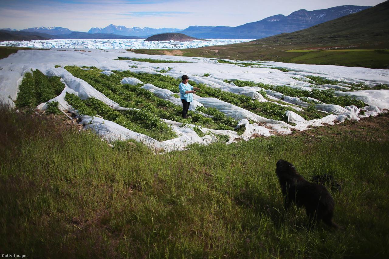 Paradicsomföld Qaqortoqnál Grönlandon. Ez a legnagyobb hasonló ültetvény, a klímaváltozás pedig különösen jótékony hatással volt a növények növekedésére. Egy nemrég készült tanulmány szerint Grönland fokozatosan egyre inkább méltó lesz nevére, és egyre nagyobb területet hódíthatnak meg a növények.