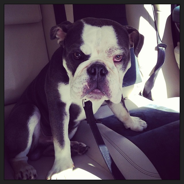 William, a bulldog