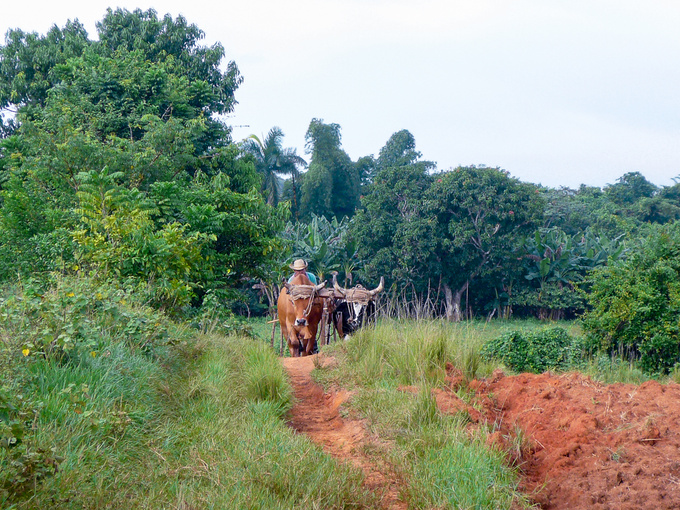 This is no faux folklore, this is reality. Primarily oxen are utilized for cultivating the land around Vinales, tractors are only used when absolutely necessary. The extent of poverty is mind-bending given the conditions of the island.