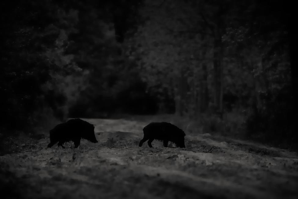 Gemenci hiénák Vaddisznók a gemenci erdőben