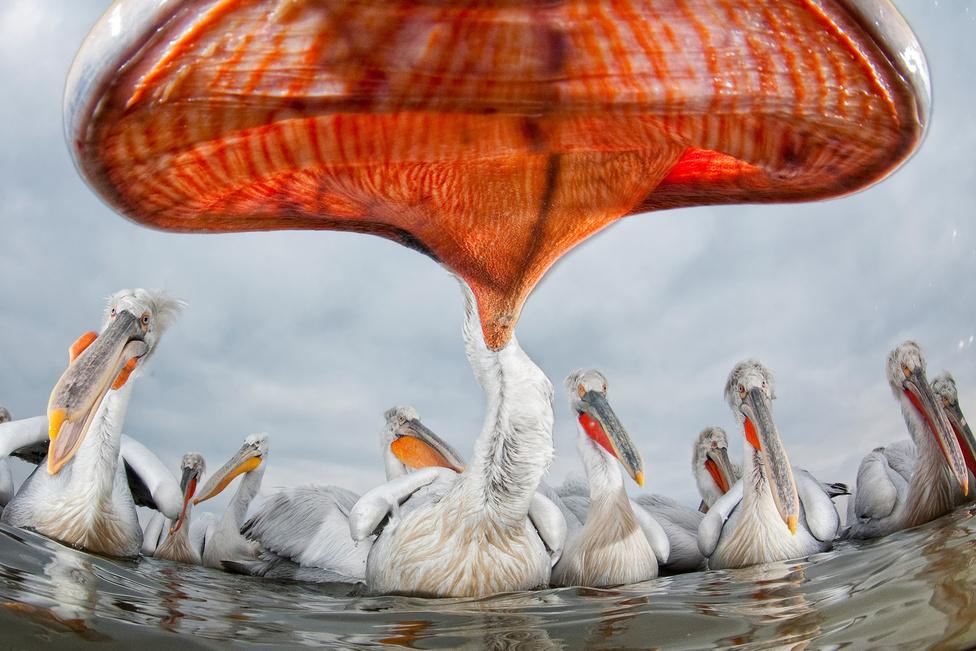 Az Év Természetfotója: Tányérajkúak Halszemobjektív és a madarak közelségének összjátéka egy görögországi pelikáncsapat fotózásán.