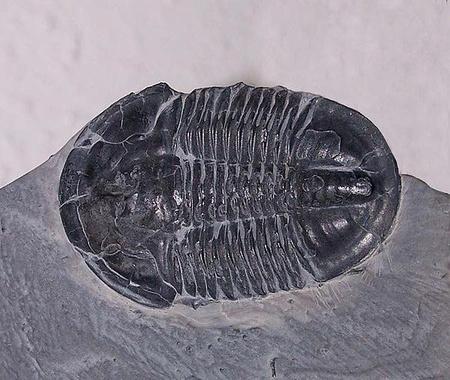 Asaphiscus wheeleri trilobita kövülete a kambriumból (kép: Wikipedia)