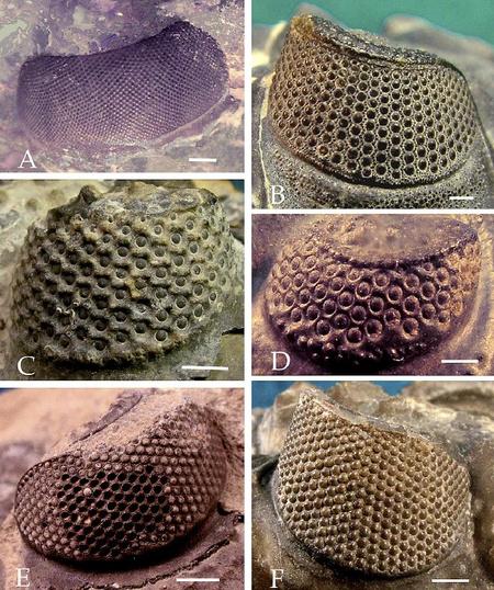 Holochroális (A) és schizochroális (B-F) trilobitaszemek. Jól látszik, hogy a schizochroális szemek kevesebb és nagyobb lencséből állnak, mint a holochroális szem. A fehér vonal minden képen egy millimétert jelez. (kép: E. Clarkson et al. / Arthropod Structure & Development 35 (2006) 247-259, 6. ábra)