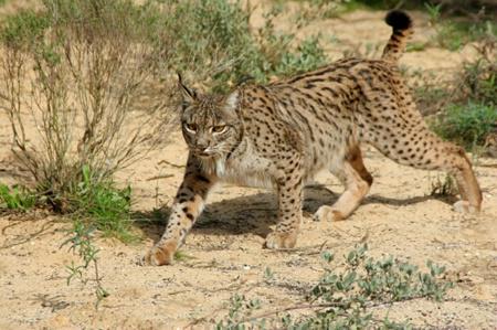 Lynx pardinus.png