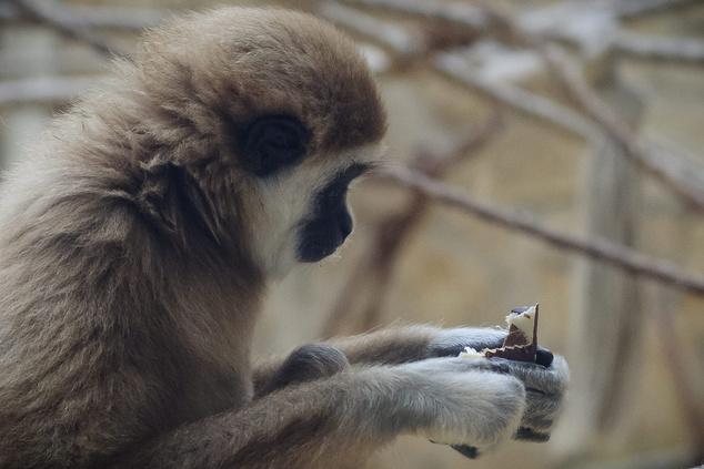 Több mint egymillió forint értékű, 2008-ban lefoglalt csokoládét adományozott az állatkertnek a Nemzeti Adó- és Vámhivatal (NAV).