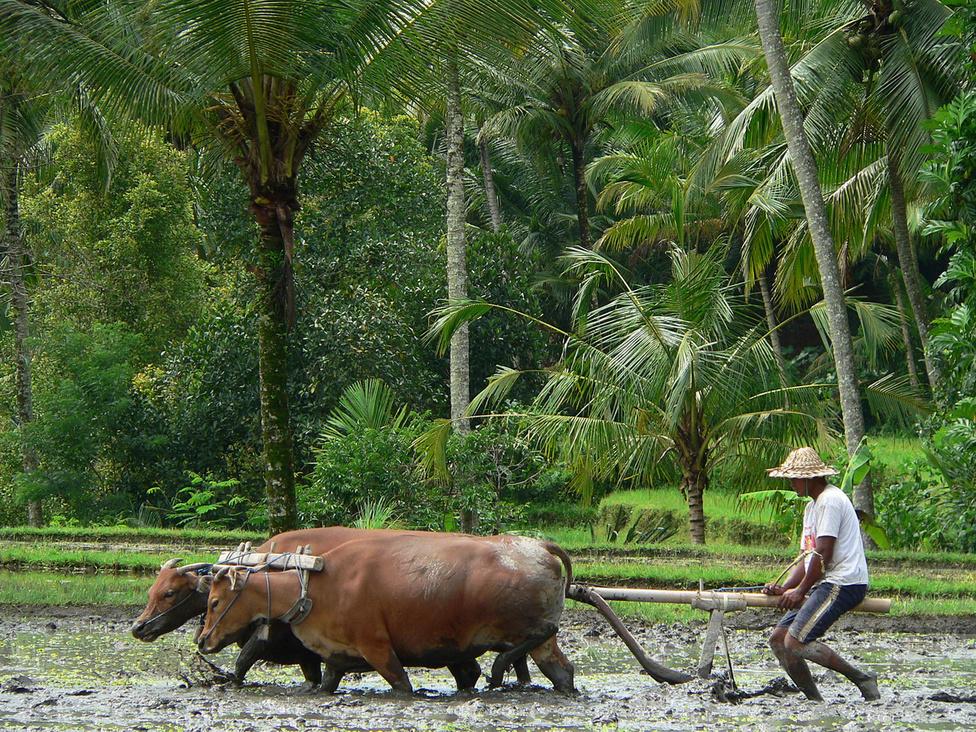 Állati erő a mezőgazdaságban – a rizsföldeken még sokfelé dolgoztatják az ökröket, bár elterjedtek a rizsművelő, speciális traktorok, kisgépek is. Az újabb ültetés előtti szántás, vagy leginkább az iszap alapos felkavarása hagyományos faekével történik, ami tökéletesen megfelel erre a célra, hiszen az iszap jóval kisebb közegellenállást fejt ki, mint a száraz, tömör termőföld