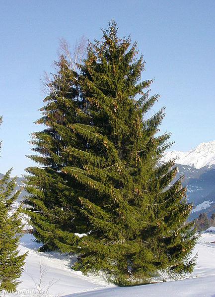433px-Picea abies