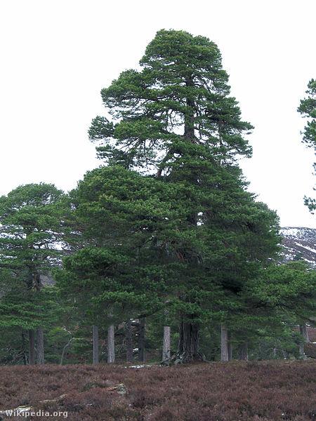450px-Pinus sylvestris1