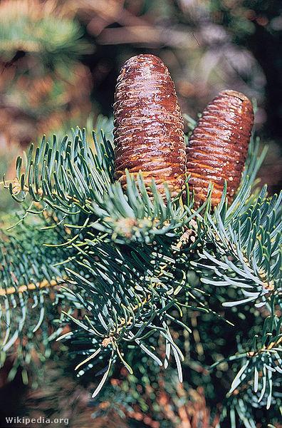 396px-Abies concolor cones