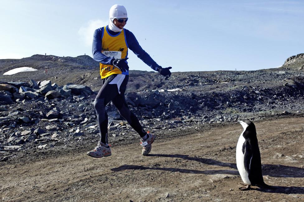 Egy pingvin szemléli az első Antarktisz Maraton résztvevőjét