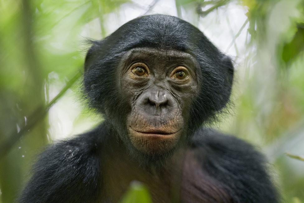 Természet, sorozat - Harmadik hely: Egy kíváncsi Bonobo majom története