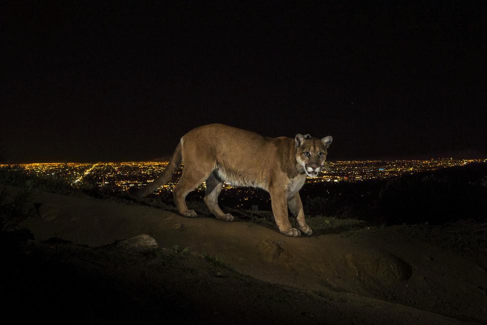Természet, sorozat - Első hely: Egy állatkertből szökött puma befogása a Griffith Parkban, Los Angelesben.