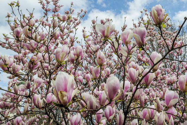 A magnólia közismertebb neve a liliomfa
