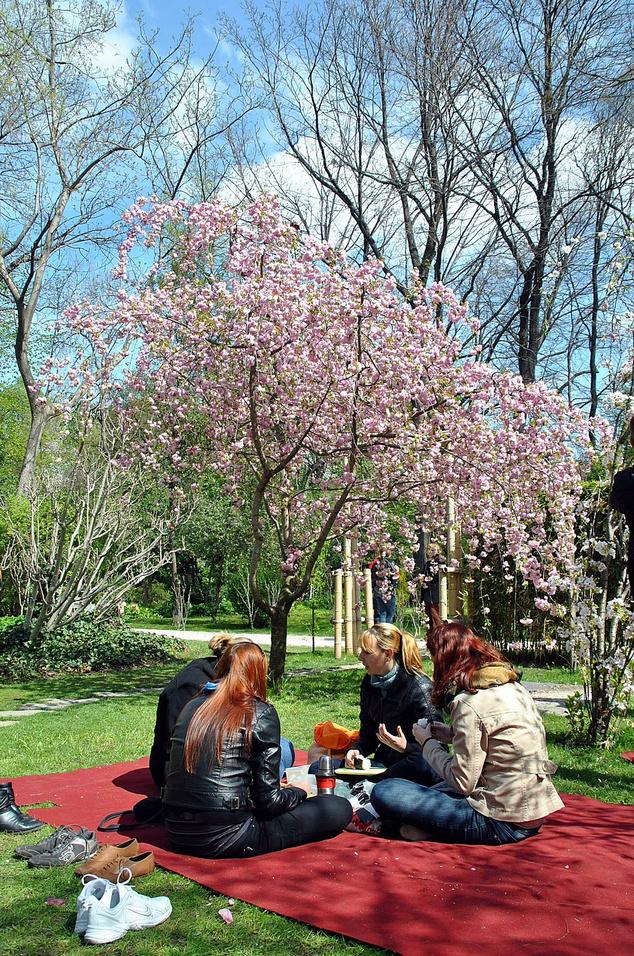Cseresznyefa a Füvészkertben