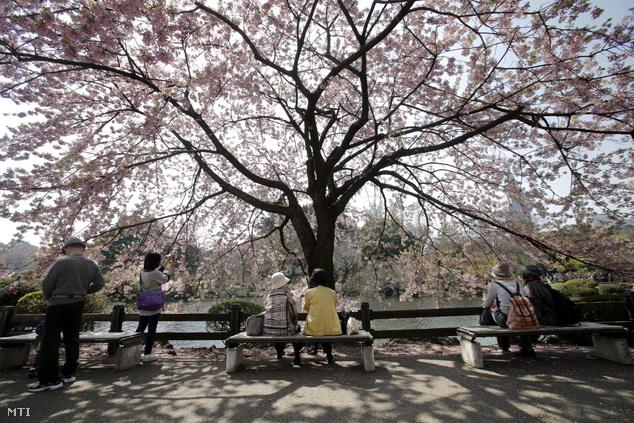 Az 58 hektáros tokiói Sindzsuku Gjoen parkban ezerötszáz cseresznyefa áll