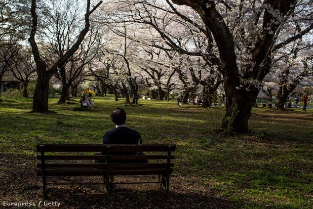 A tokiói Koisikava botanikus kertben is virágoznak a fák