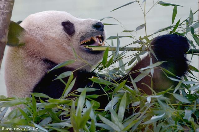 Az edinburghi állatkert óriáspandapárja lusta a párzásra
