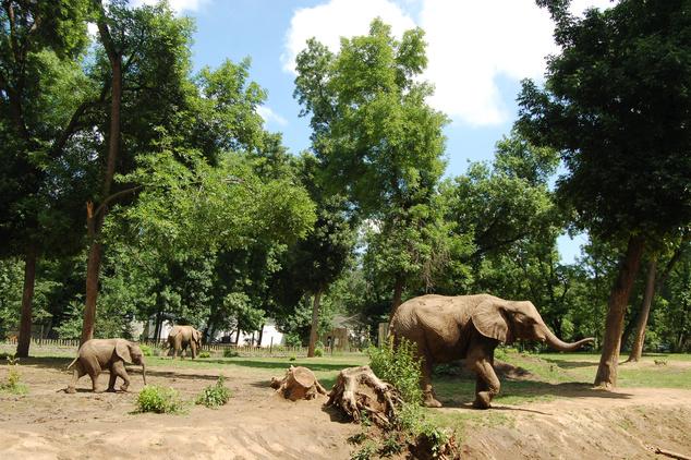 Az afrikai elefántok nagyon jól érzik magukat