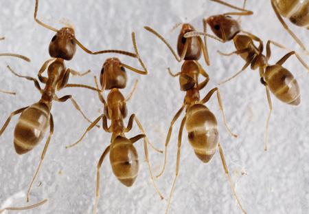 argentine ants b
