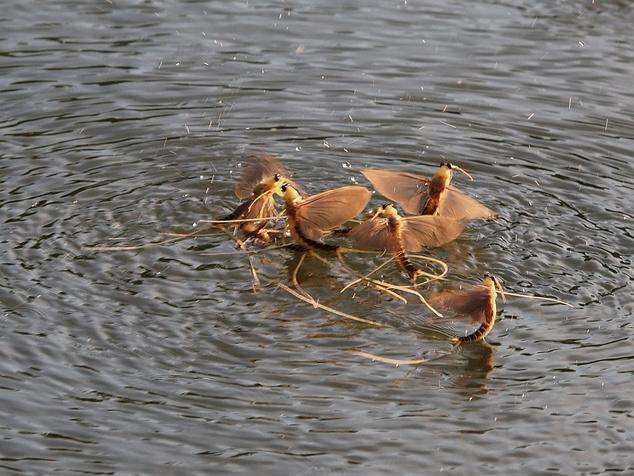 A vízből kibúvó lárvák leginkább a partról benyúló faágakon, a vízben álló stégeken vedlenek